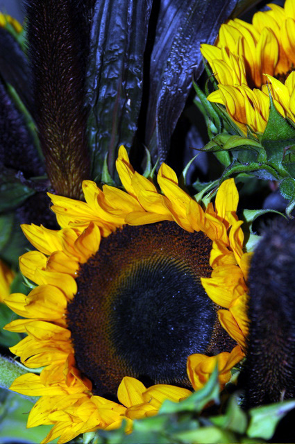 Sunflowers_majesty_arranged1