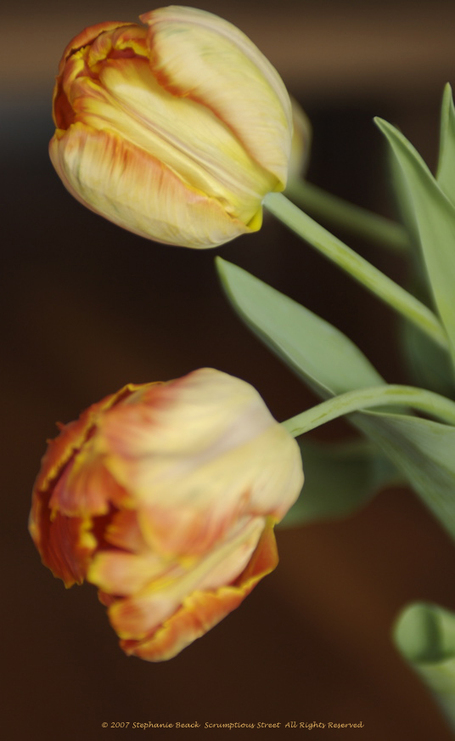 Tulips_profile