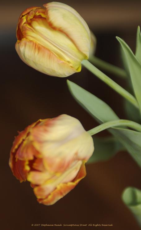 Tulips_profile