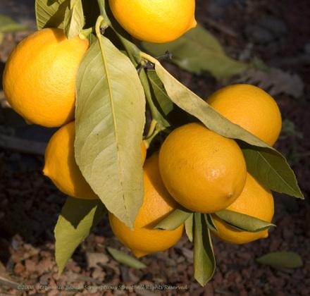 Lemons_closetree_2